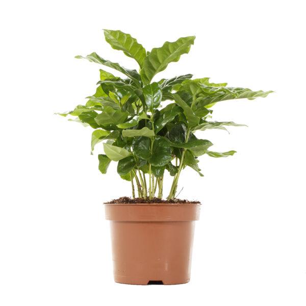 coffee plant coffea arabica